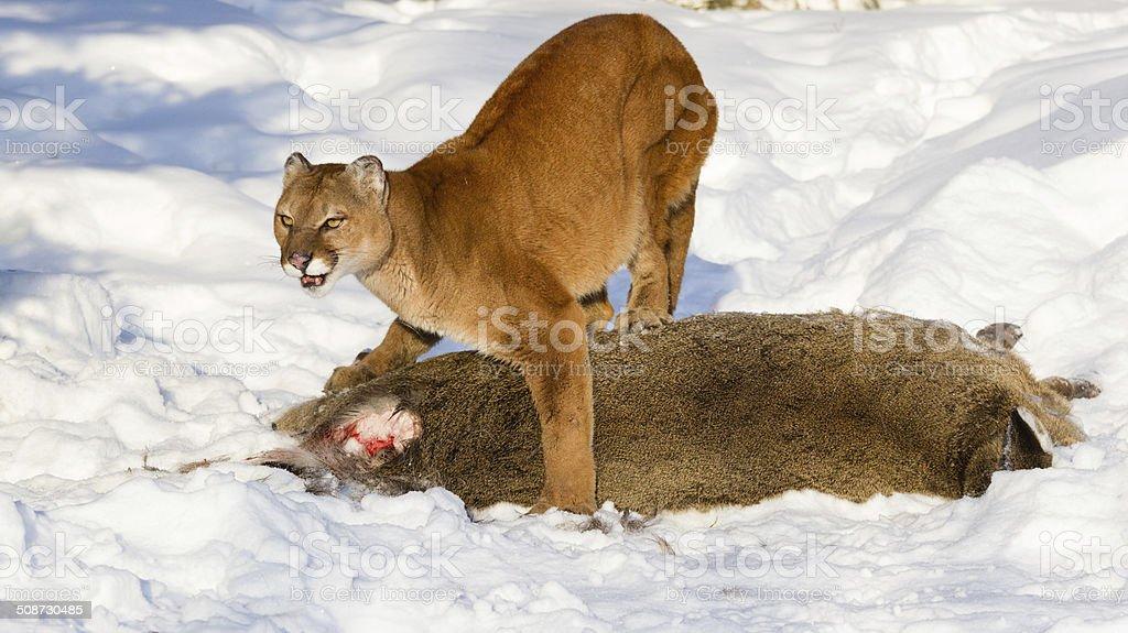 Mountain Lions stock photo