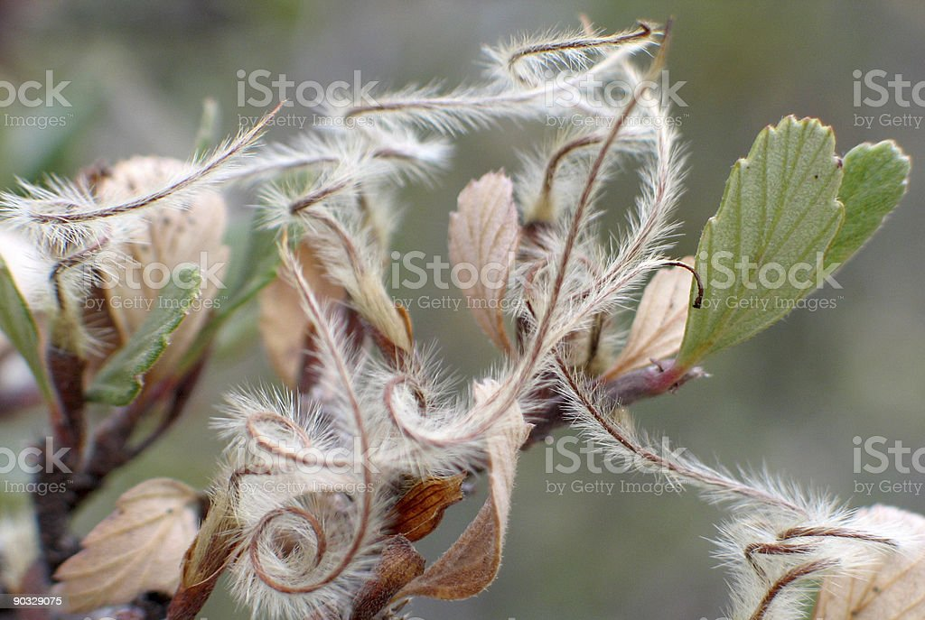 mountain mahogany stock photo