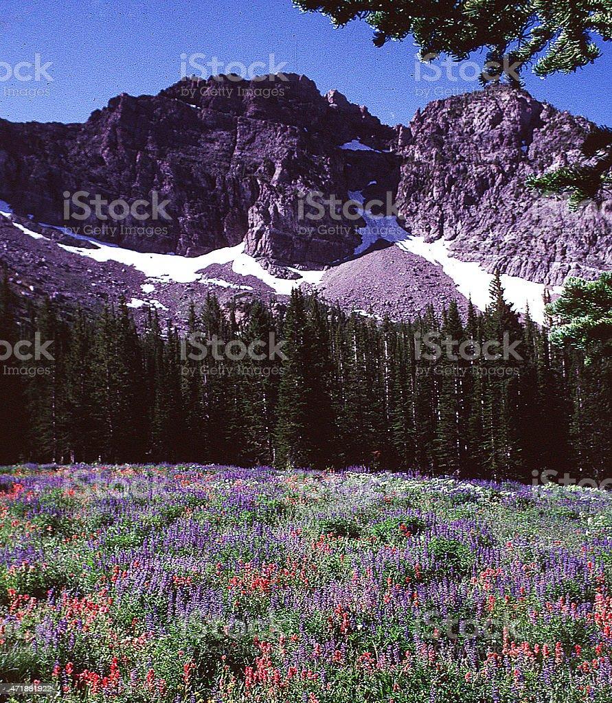 Mountain Meadow Spring Wildlfowers Wasatch Mountains Utah stock photo