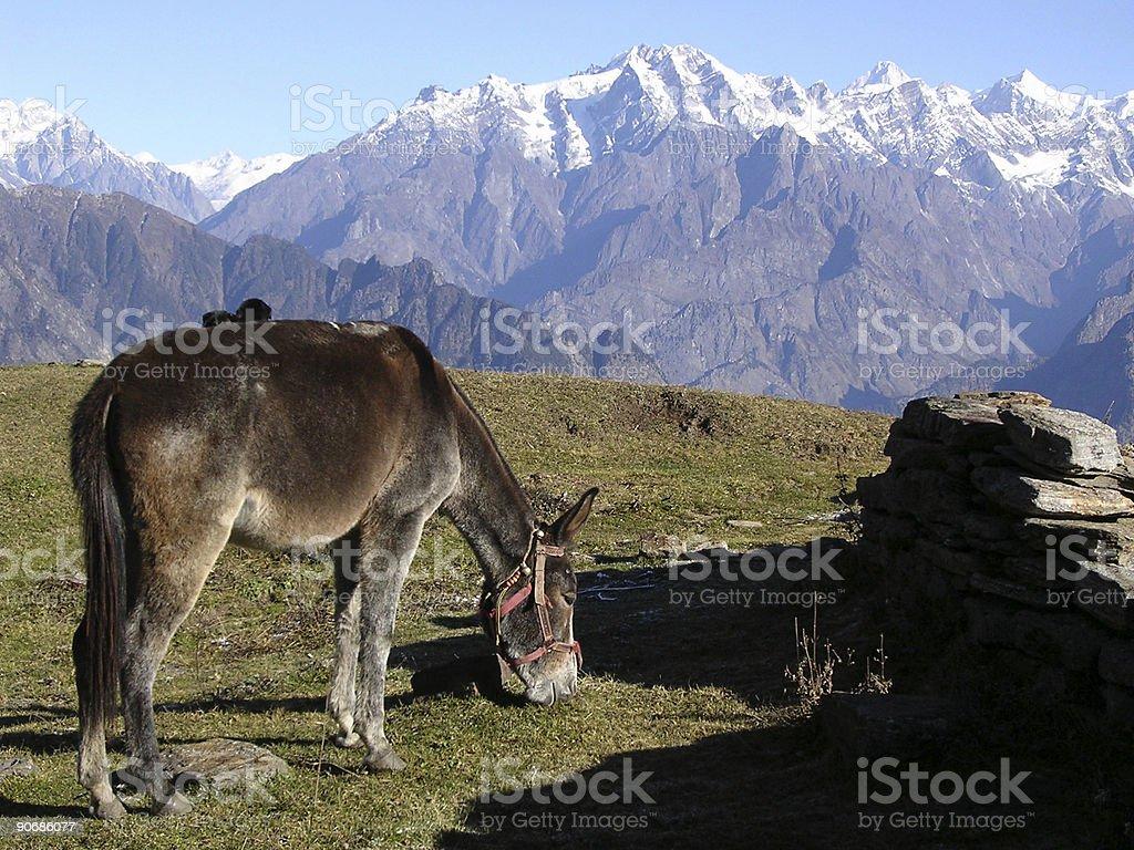 Mountain Mule royalty-free stock photo