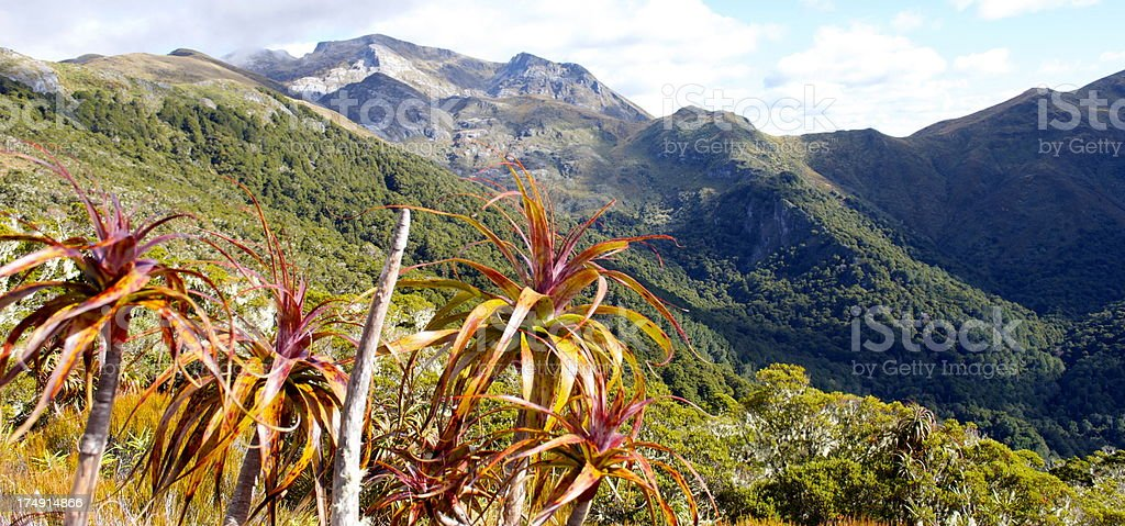 Mountain Neinei (Dracophyllum traversii), Kahurangi National Park stock photo