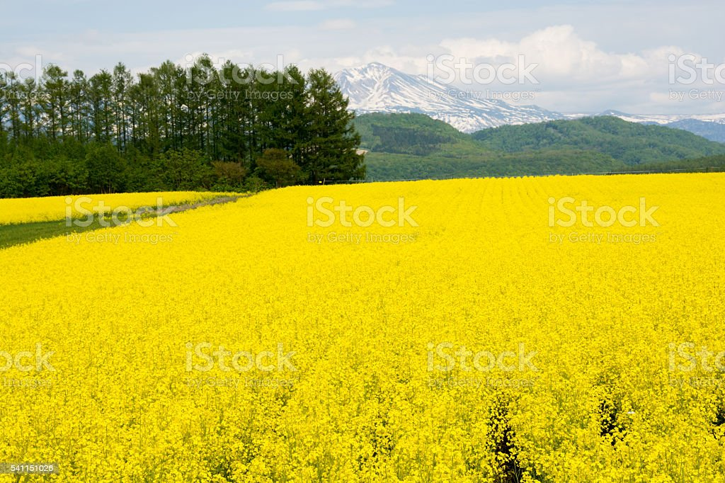 Mountain of remaining snow and rape-blossom field stock photo