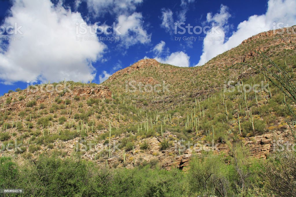 A Mountain of Saguaro in Bear Canyon in Tucson, AZ stock photo