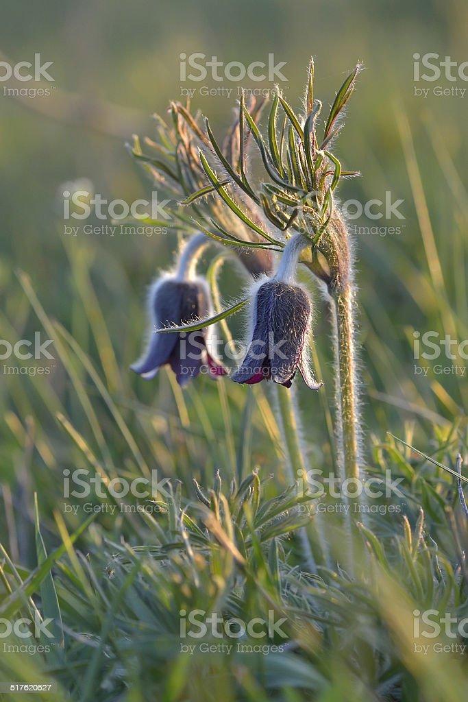 Mountain Pasqueflower (Pulsatilla montana) in flower on a March morning stock photo