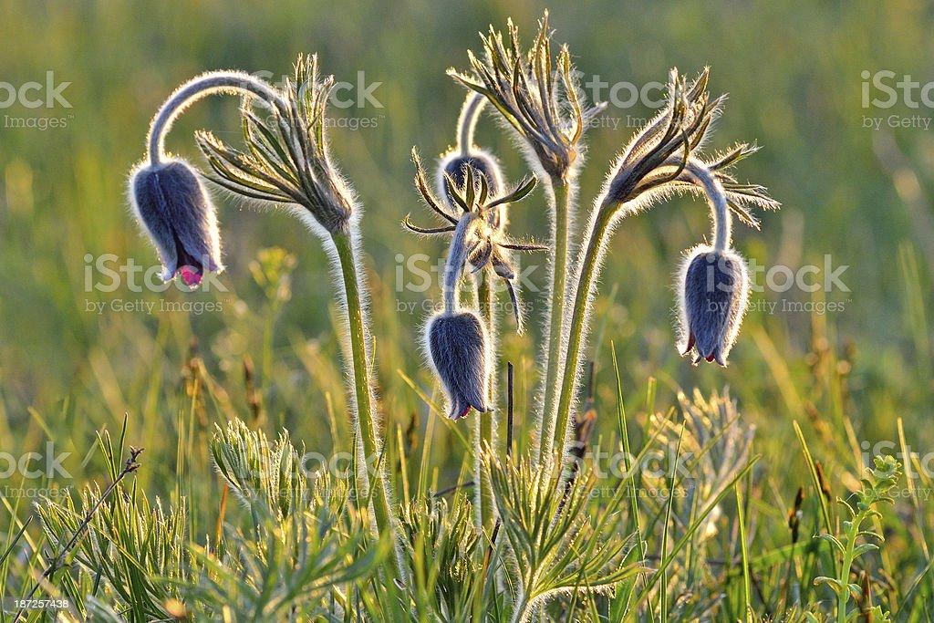 Mountain Pasqueflower stock photo