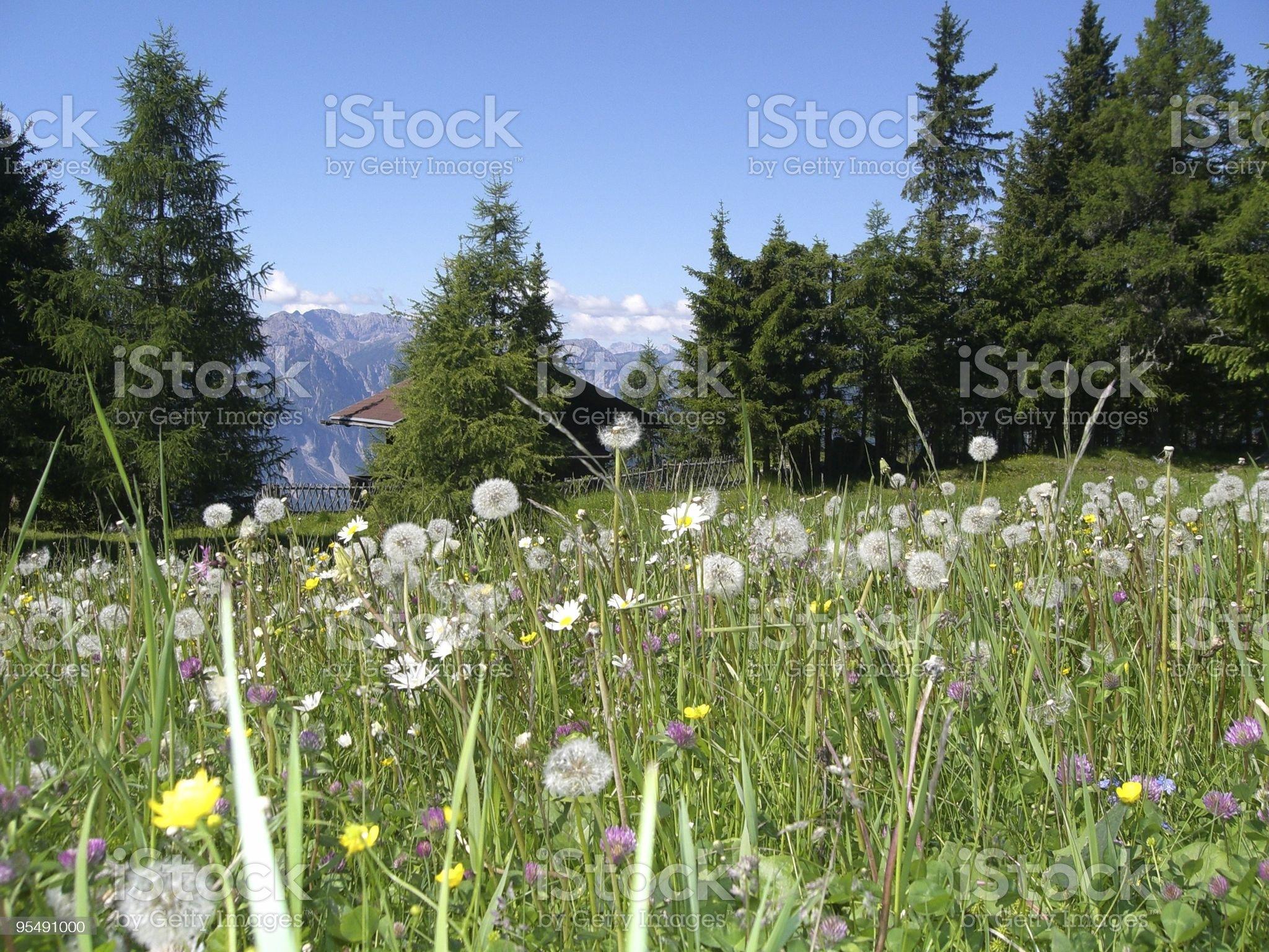 #3 mountain pasture, pur air, alpine flora, austria, triol royalty-free stock photo