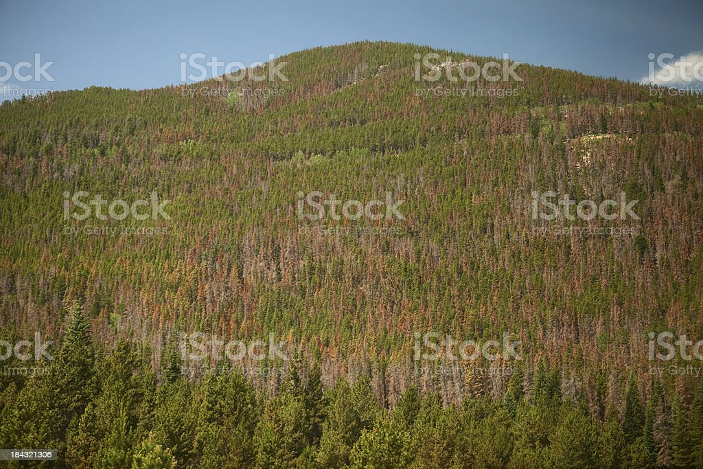 Mountain Pine Beetle Damage in Colorado Forest stock photo