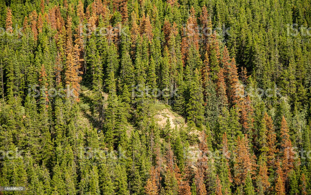 Mountain Pine Beetle damage with dead trees- Lodgepole Pine stock photo