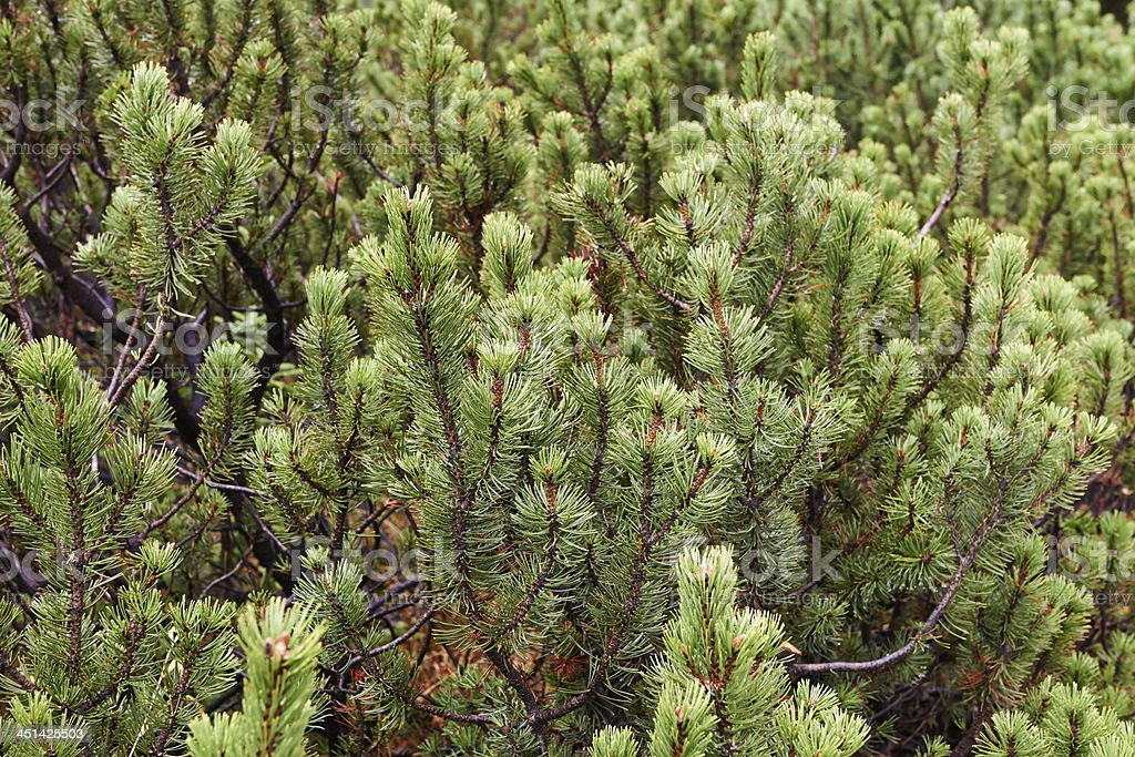 Mountain Pine stock photo