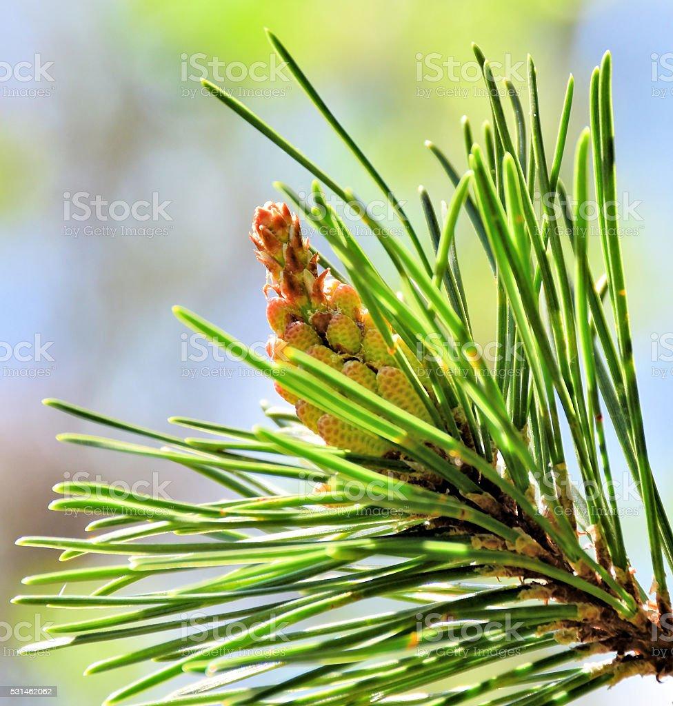 mountain pine (punus mugo) stock photo