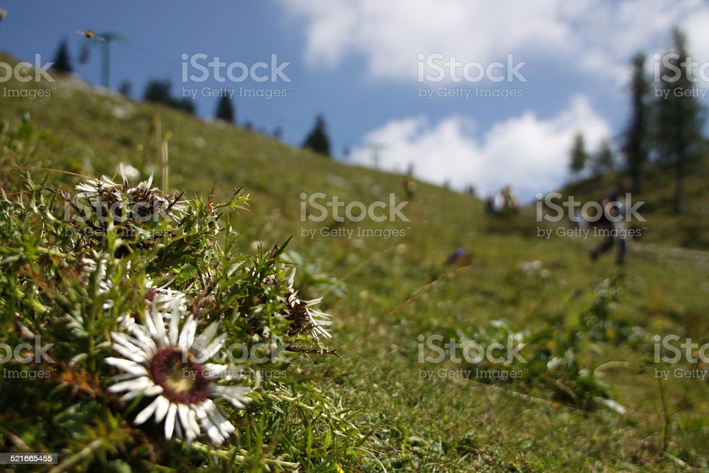Mountain plant - carlina acaulis stock photo