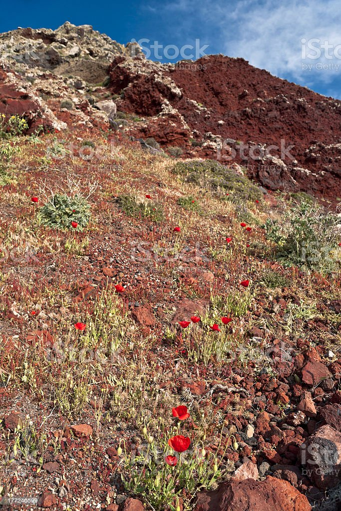 Mountain poppies stock photo