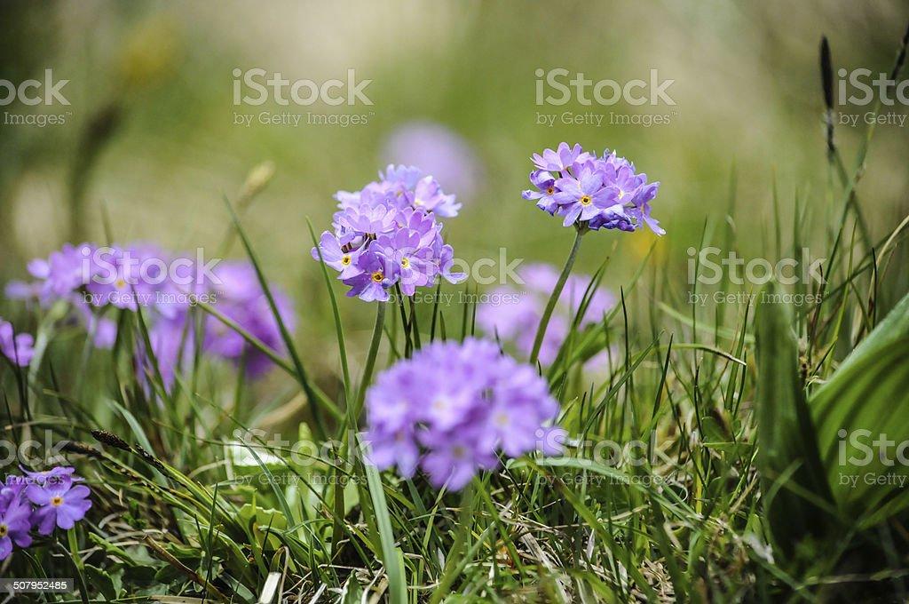 Mountain Primrose stock photo