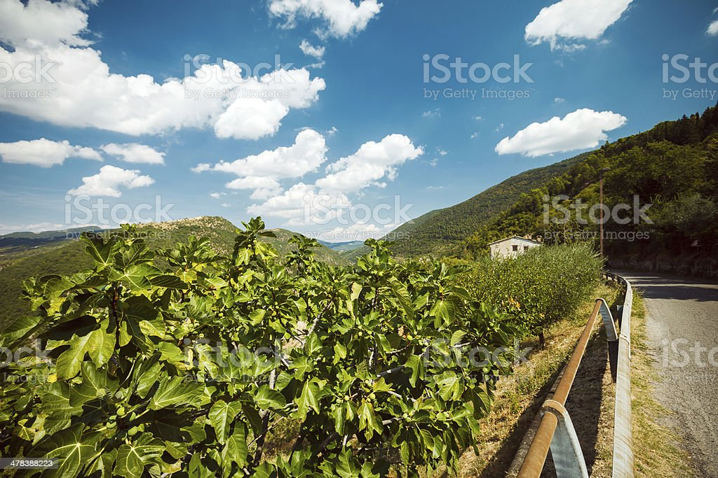 Mountain road and fig tree royalty-free stock photo
