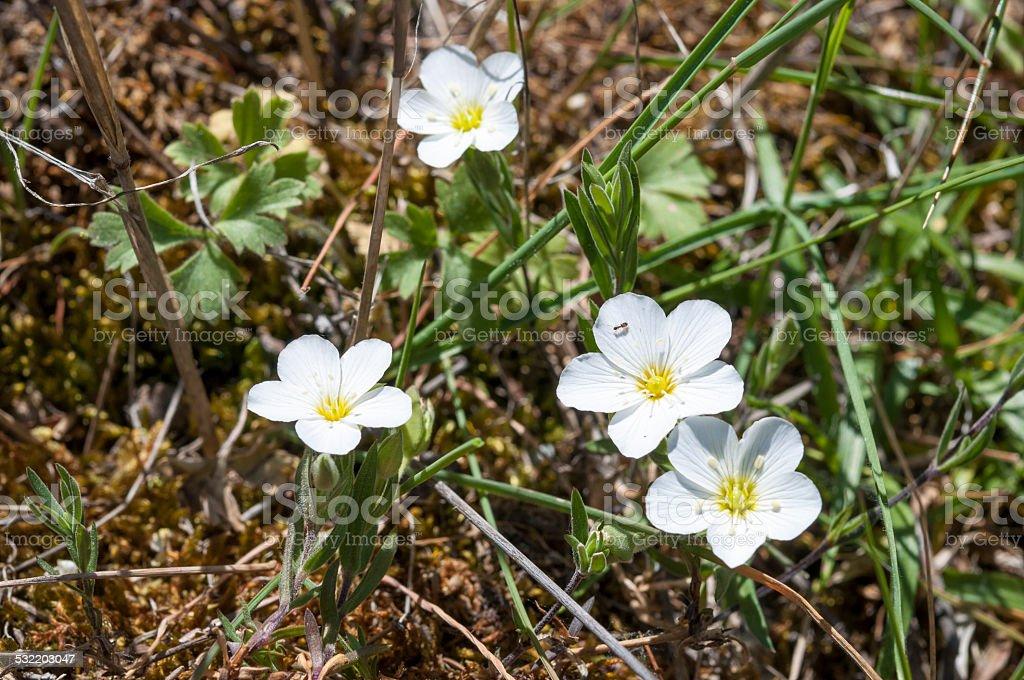 Mountain sandwort, Arenaria montana stock photo