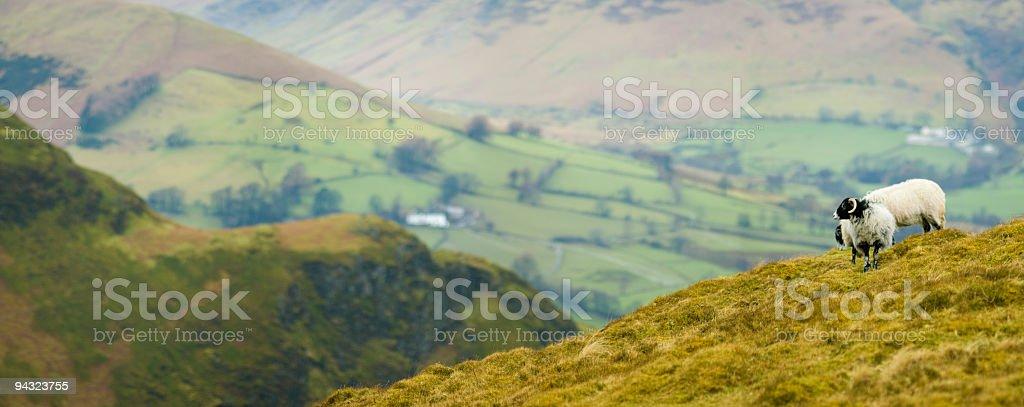 Mountain sheep overlooking valley farms stock photo