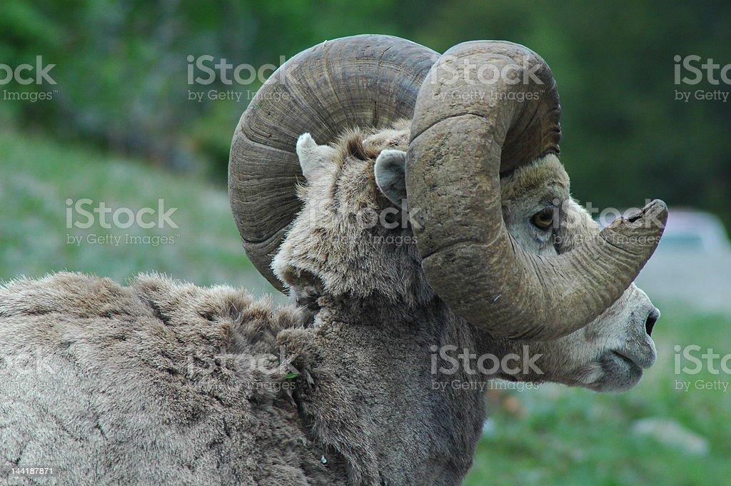 Mountain Sheep stock photo