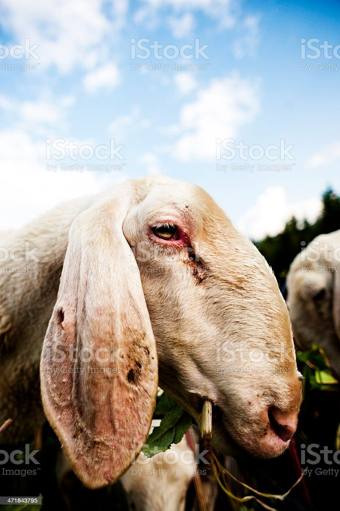 Mountain sheep royalty-free stock photo