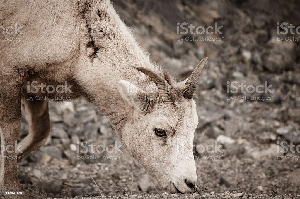 Mountain Sheep royalty-free stock photo