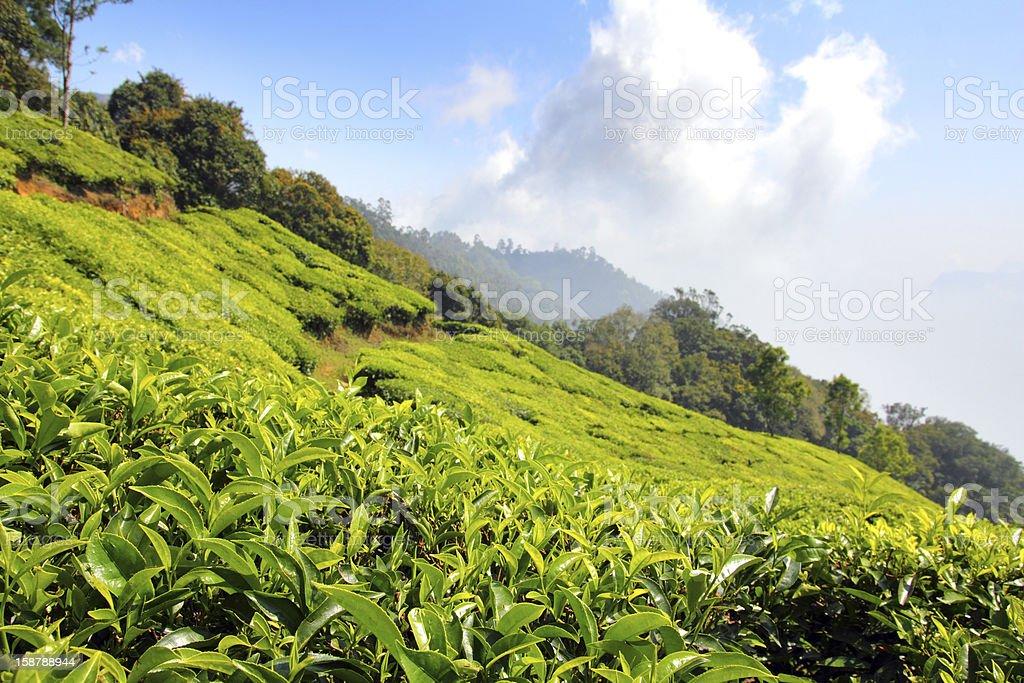 mountain tea plantation in India royalty-free stock photo