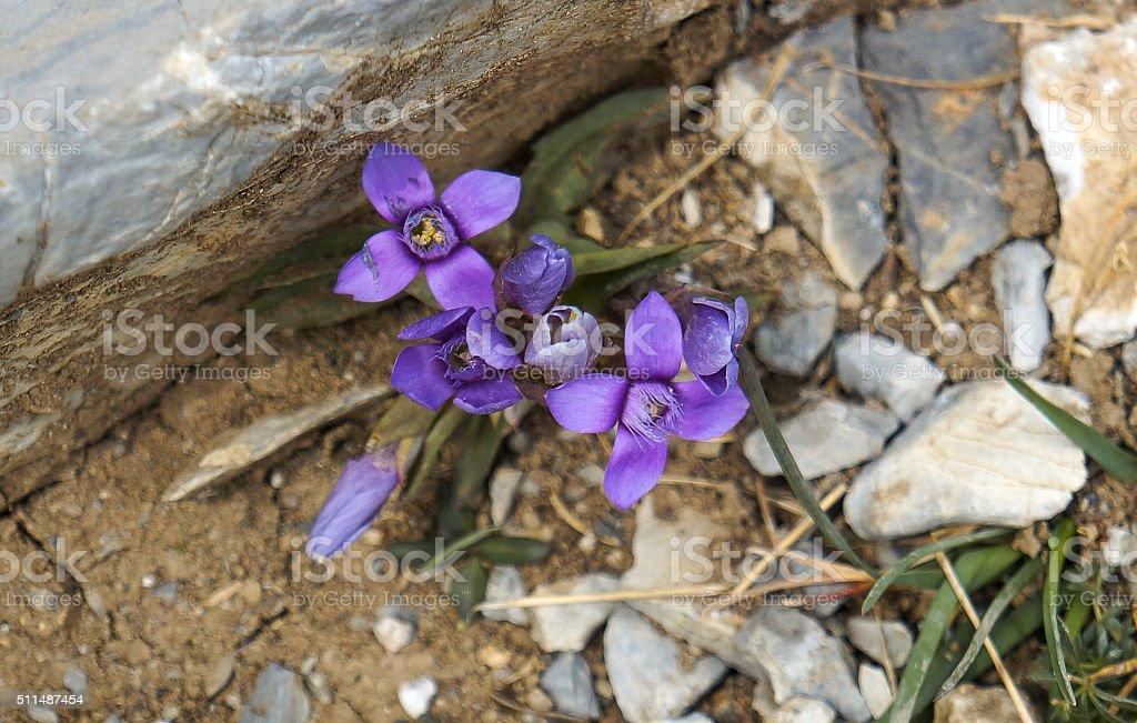 Montanha flor violeta foto de stock royalty-free
