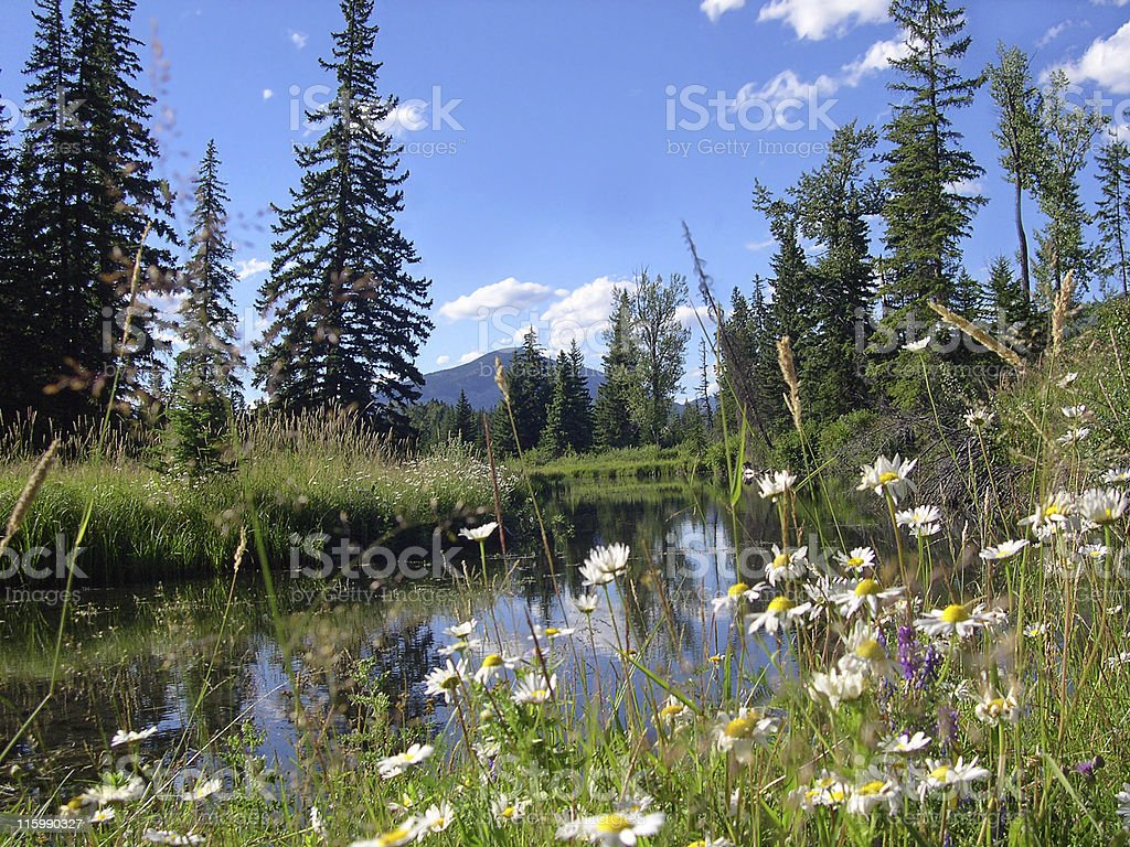 Mountain Wildflowers and Beaver Pond stock photo