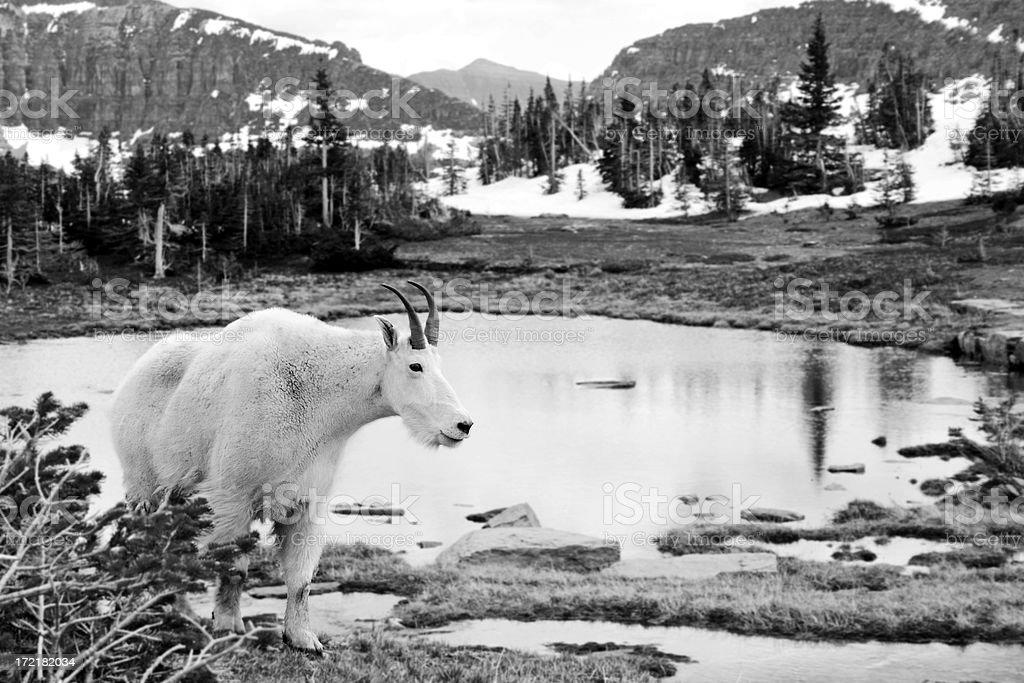 Mountain Wildlife royalty-free stock photo