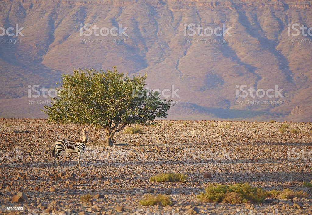 Mountain Zebra royalty-free stock photo