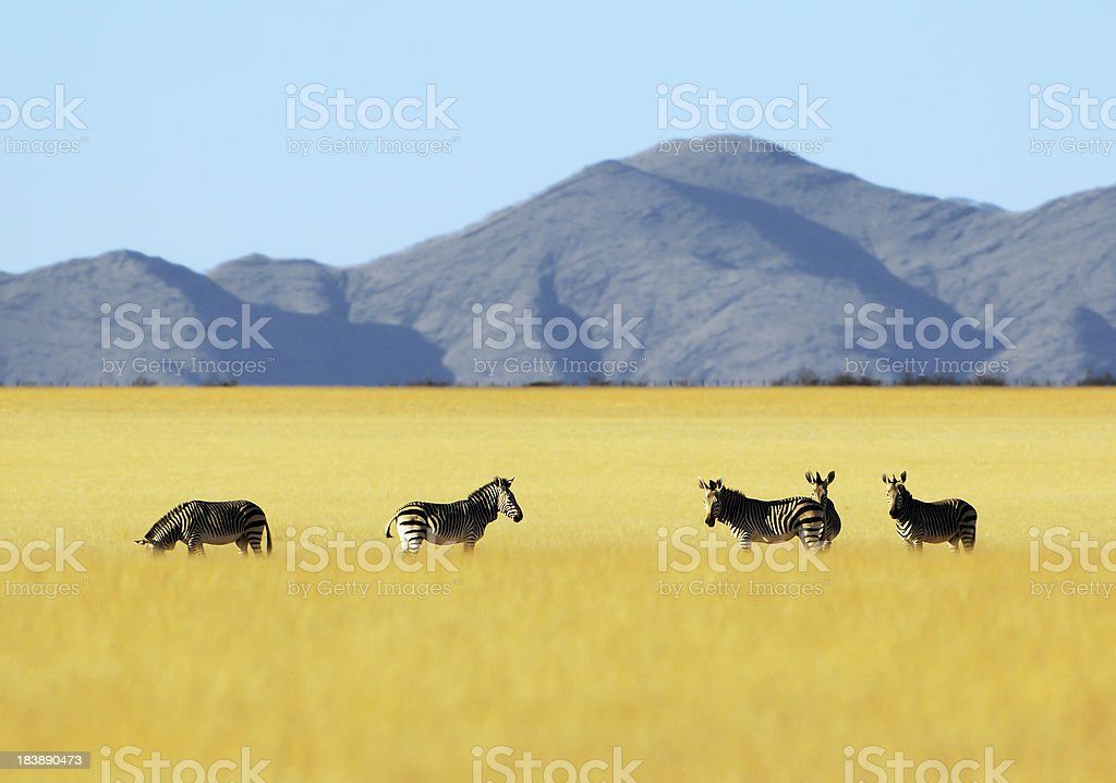 Mountain Zebras in Namibia stock photo