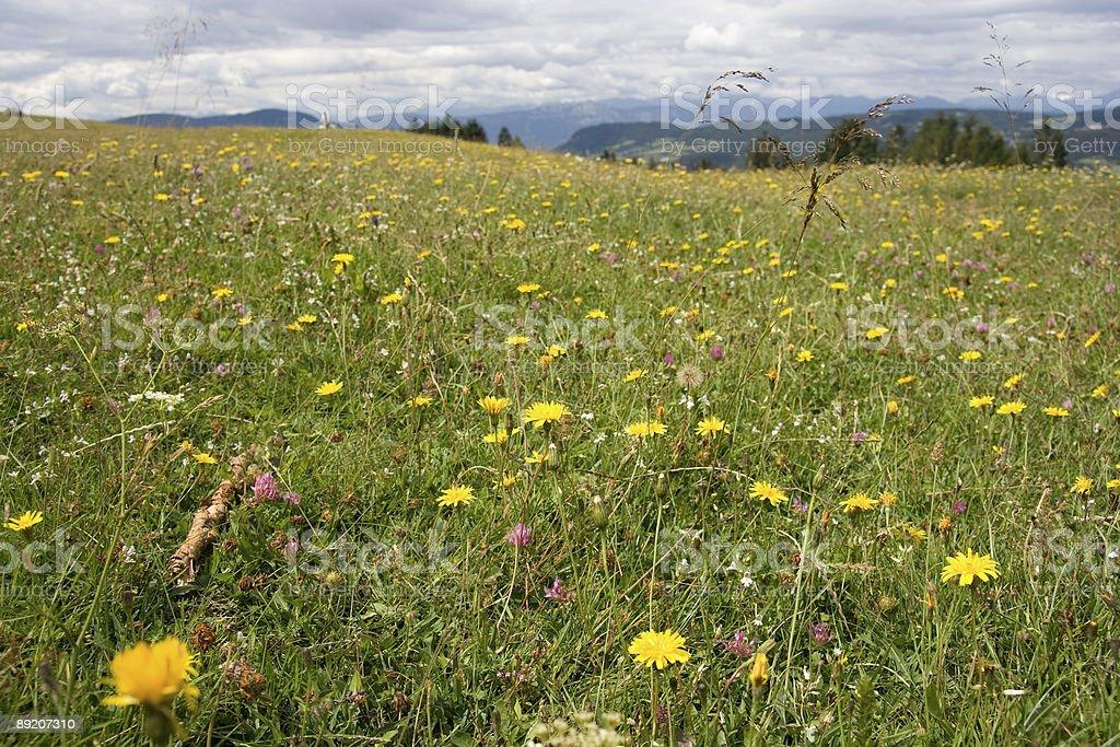 Mountaina Coloured Flowers, Dolomiti - Italian Alps royalty-free stock photo
