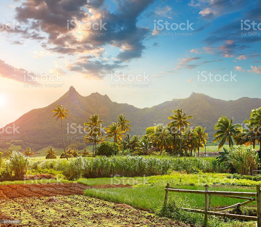 Mountains and sugar cane fields on Mauritius stock photo