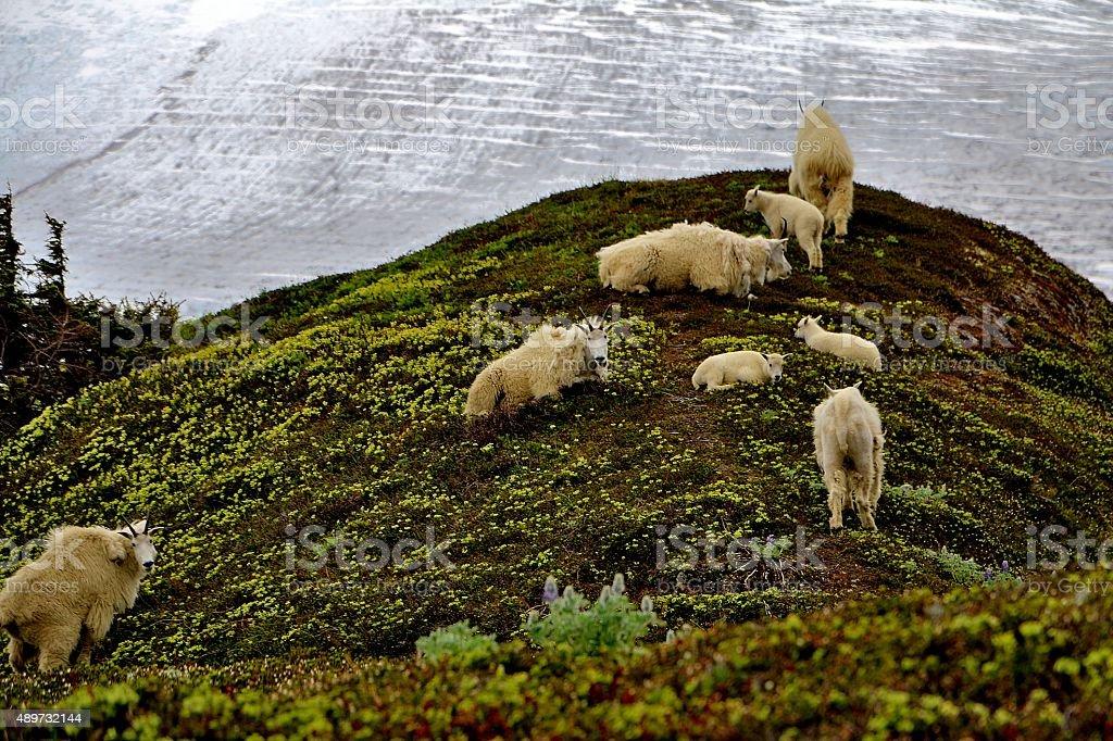 Mountains Goats, Alaska stock photo
