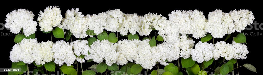 Mourning cemetery concept. Big line of white terry flowers isolated on  black background stock photo