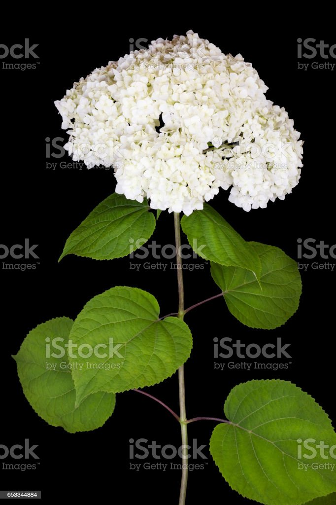 Mourning concept. Lonely branch of a white terry flower  isolated on  black background stock photo