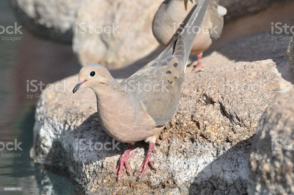 Mourning Dove Came for a Drink stock photo