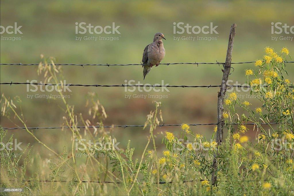 Mourning Dove in Arizona stock photo