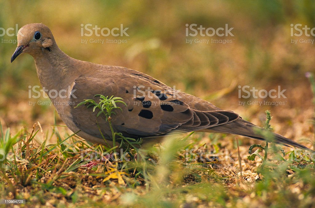 Mourning Dove on Ground stock photo