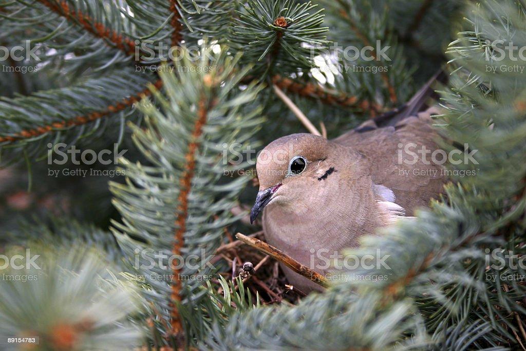 Mourning Dove On Nest stock photo