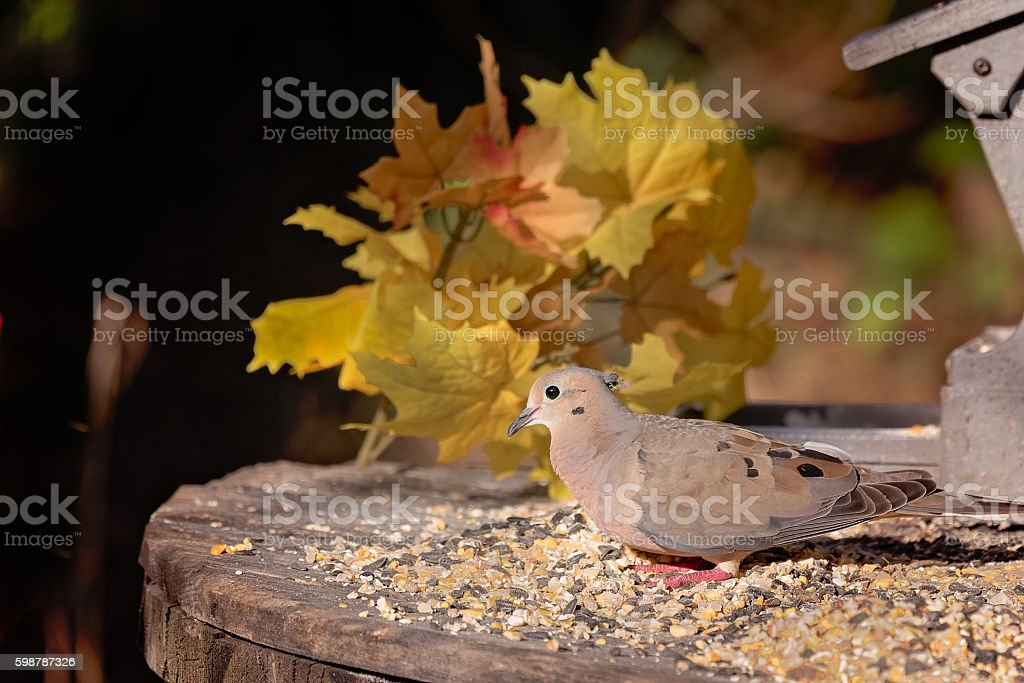 Mourning dove or turtle dove with fall foliage stock photo