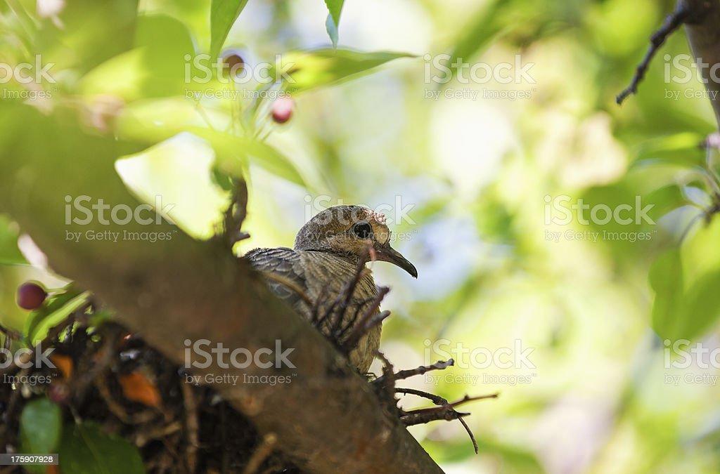 Mourning Dove stock photo