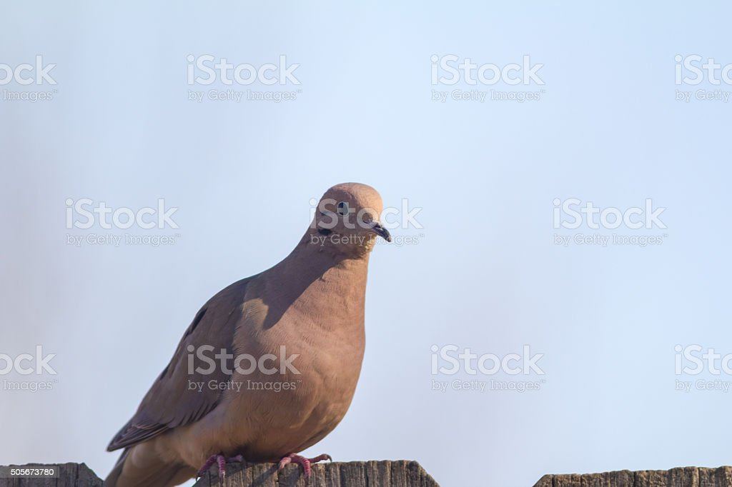 Mourning Dove (Zenaida macroura) stock photo