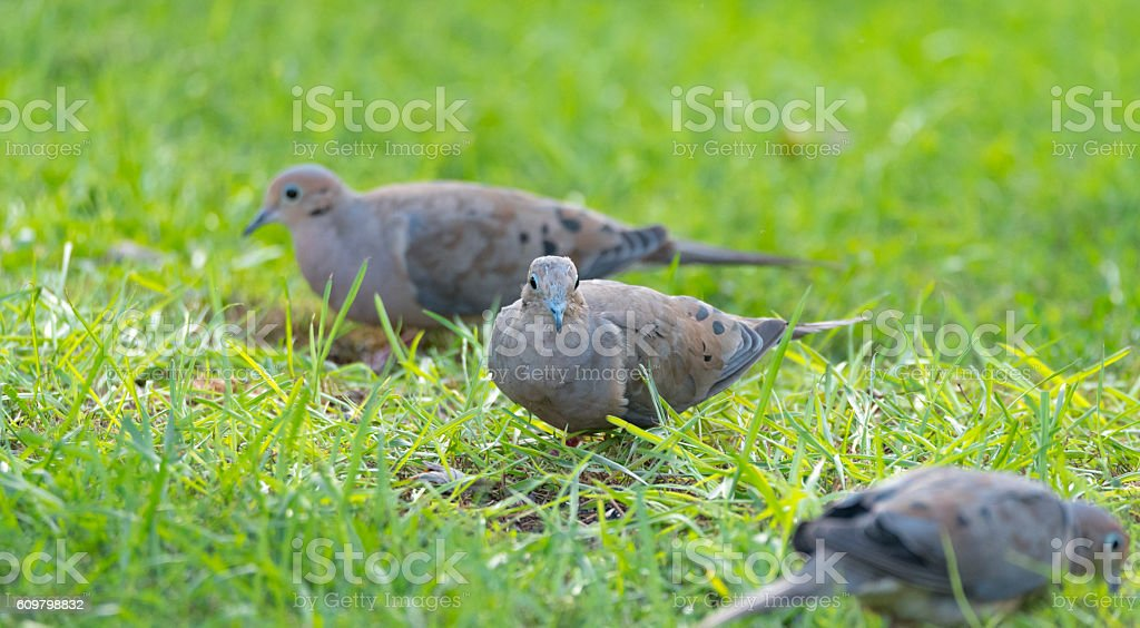 Mourning Dove, Turtle Dove (Zenaida macroura) in green grass. stock photo