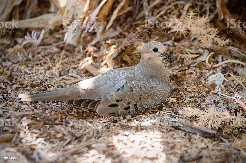 mourning dove, Zenaida macroura stock photo