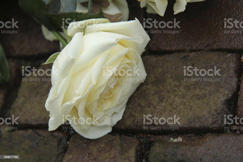 Mourning rose royalty-free stock photo
