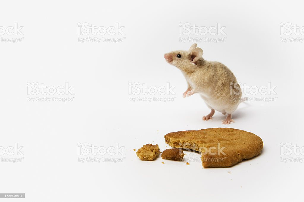 Mouse and Cookie royalty-free stock photo