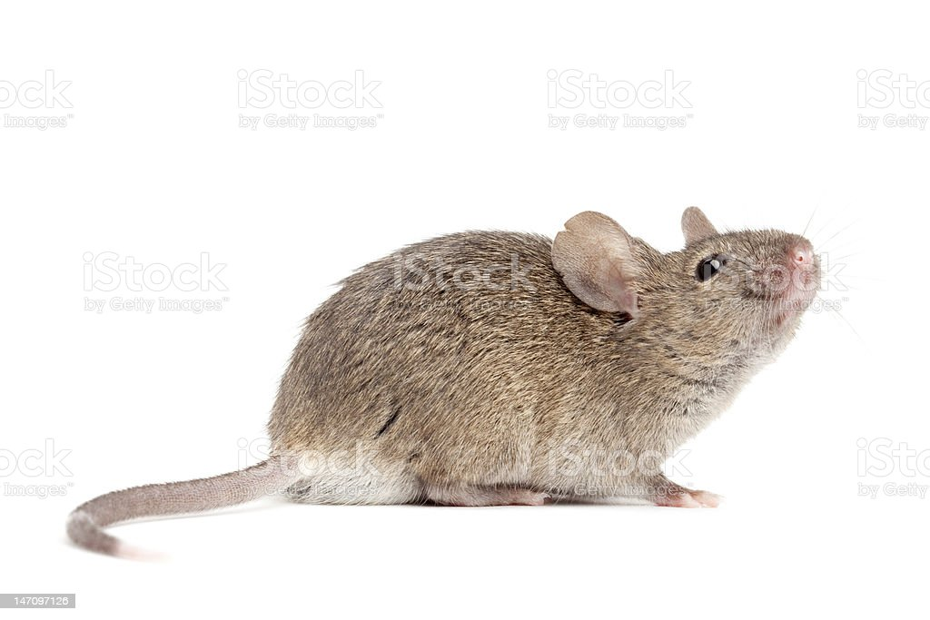 mouse close up isolated on white stock photo
