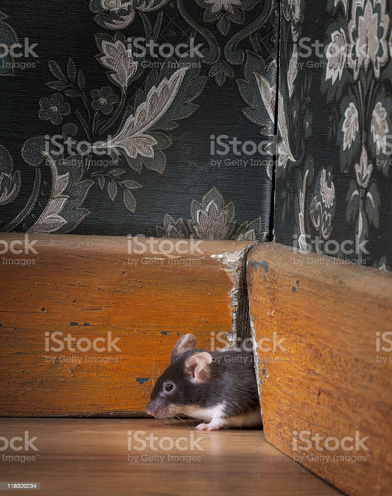 mouse coming out ot her hole in old-fashioned room stock photo