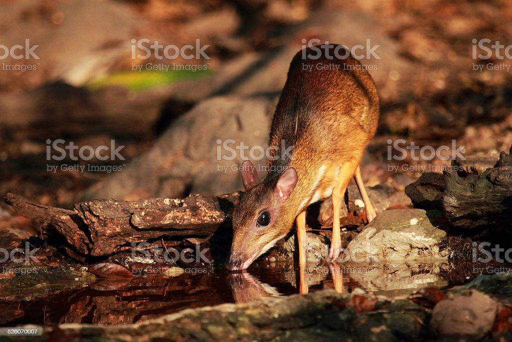 Mouse deer at Kaeng Krachan National Park stock photo