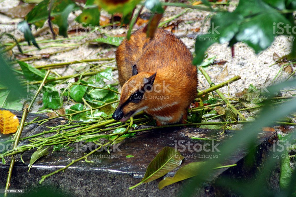 Mouse Deer in the Forest stock photo