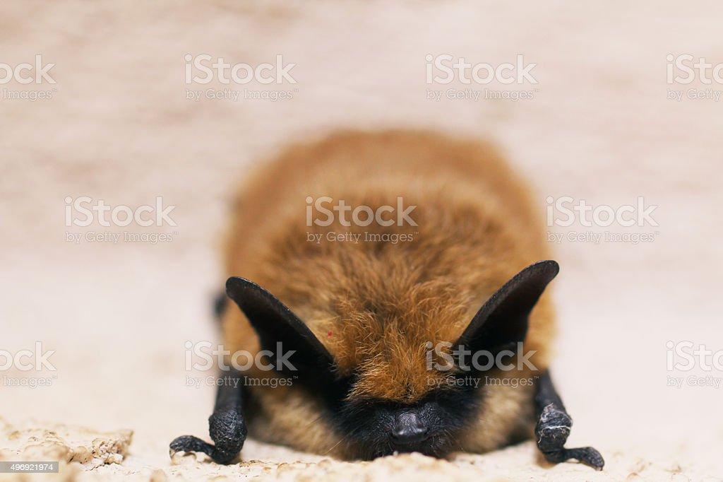 Konura Bat, Myotis myszy zbiór zdjęć royalty-free